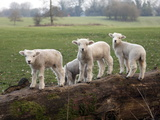 Lambs Playing on a Log in Stourhead Parkland  South Somerset  Somerset  England  United Kingdom