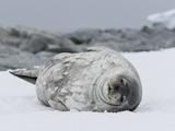 Weddell Seal (Leptonychotes Weddellii)  Commonwealth Bay  Antarctica  Polar Regions