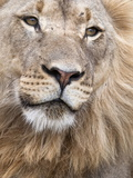 Male Lion (Panthera Leo)  Addo National Park  Eastern Cape  South Africa  Africa
