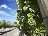 Vineyards of Cullen Wine Estate  Margaret River  Western Australia  Australia  Pacific