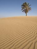 Lone Tree on Dune  Sahara Desert  Merzouga  Morocco  North Africa  Africa
