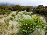 Yellow Bulbinella Rossii  Genus  Campbell Island  Sub-Antarctic  Polar Regions