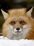 Captive Red Fox (Vulpes Vulpes) in the Snow  Near Bozeman  Montana  USA