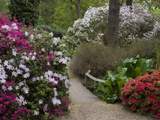 Azaleas and Rhododendrons  Isabella Plantation  Richmond Park  Richmond  Surrey  England  Uk
