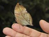 Indian Leaf Butterfly (Kallima Paralekta)