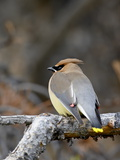 Cedar Waxwing (Bombycilla Cedrorum)  Banff National Park  Alberta  Canada  North America