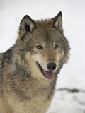 Gray Wolf (Canis Lupus) in Snow in Captivity  Near Bozeman  Montana