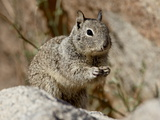 California Ground Squirrel (Citellus Beecheyi)  Joshua Tree National Park  California  USA