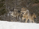 Two Captive Gray Wolves (Canis Lupus) Running in the Snow  Near Bozeman  Montana  USA