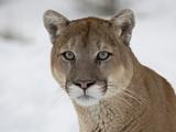 Mountain Lion (Cougar) (Felis Concolor) in Snow in Captivity  Near Bozeman  Montana