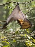 Fruit Bat (Flying Fox) (Chiroptera  Pteropodidae)