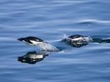 Adelie Penguins (Pygoscelis Adelia)  Dumont D'Urville  Antarctica  Polar Regions