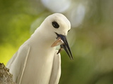 Adult White Tern (Gygis Alba) With Squid in Its Beak  Lord Howe Island  New South Wales  Australia