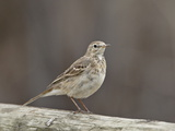 American Pipit (Anthus Rubescens Rubescens)  San Jacinto Wildlife Area  California  USA