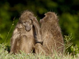 Two Chacma Baboons (Papio Ursinus) Grooming  Kruger National Park  South Africa  Africa