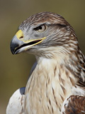 Ferruginous Hawk (Buteo Regalis) in Captivity  Arizona Sonora Desert Museum  Tucson  Arizona  USA