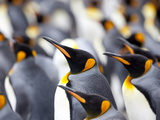 King Penguin Colony (Aptenodytes Patagonicus)  Gold Harbour  South Georgia  Antarctic