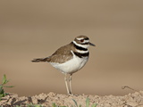 Killdeer (Charadrius Vociferus)  Salton Sea  California  United States of America  North America