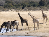 Giraffes at Waterhole  Hwange National Park  Zimbabawe  Africa