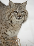 Bobcat (Lynx Rufus) in Snow in Captivity  Near Bozeman  Montana