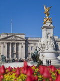 Tulips in Front of Buckingham Palace and Victoria Memorial  London  England  United Kingdom  Europe