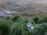 Antarctic Fur Seal (Arctocephalus Gazella)  Husvik Island  Antarctic  Polar Regions
