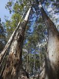 Karri Trees in Gloucester National Park  Pemberton  Western Australia  Australia  Pacific