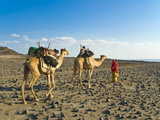 Afar Tribeswoman With Camels on Her Way Home  Near Lac Abbe  Republic of Djibouti  Africa