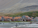Antarctic Fur Seals in Front of the Old Whaling Station  Husvik Island  Antarctic  Polar Regions