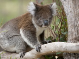 Koala (Phascolarctos Cinereus) in a Eucalyptus Tree  Yanchep National Park  West Australia