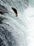 Sockeye Salmon Attempting to Jump the Falls  Brooks Camp  Katmai National Park  Alaska  USA