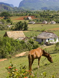Horse Grazing on a Hillside in the Valle De Vinales  Pinar Del Rio Province  Cuba