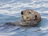 Sea Otter (Enhydra Lutris) on Its Back  Homer  Alaska  United States of America  North America