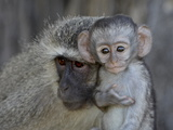 Vervet Monkey (Chlorocebus Aethiops) Infant and Mother  Kruger National Park  South Africa  Africa