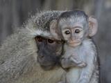 Vervet Monkey (Chlorocebus Aethiops) Infant and Mother  Kruger National Park  South Africa  Africa