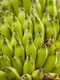 Banana Tree  Kerobokan  Bali  Indonesia  Southeast Asia  Asia