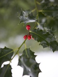 Close-Up of a Holly Tree  London  England  United Kingdom  Europe
