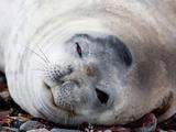 Weddell Seal (Leptonychotes Weddellii)  Half Moon Island  Shetland Islands  Antarctic