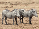 Warthogs (Phacochoerus Aethiopicus)  Sub Adult  Addo National Park  Eastern Cape  South Africa