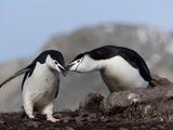 Chinstrap Penguins (Pygoscelis Antarctica)  Aitcho Island  Antarctica  Polar Regions