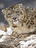 Snow Leopard (Uncia Uncia) in the Snow  in Captivity  Near Bozeman  Montana  USA