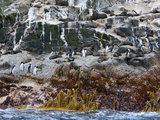 New Zealand Fur Seals and Erect-Crested Penguins  Bounty Island  Sub-Antarctic  Polar Regions