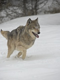 Gray Wolf (Canis Lupus) Running in the Snow in Captivity  Near Bozeman  Montana