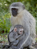 Vervet Monkey (Chlorocebus Aethiops) Mother and Infant  Kruger National Park  South Africa  Africa