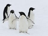 Adelie Penguins (Pygoscelis Adeliae)  Commonwealth Bay  Antarctica  Polar Regions