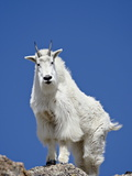 Mountain Goat (Oreamnos Americanus)  Mount Evans  Colorado  United States of America  North America