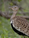 Male Black-Bellied Bustard (Eupodotis Melanogaster)  Kruger National Park  South Africa