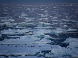 Adelie Penguins (Pygoscelis Adeliae) on An Ice Floe at Midnight  Southern Ocean  Antarctic