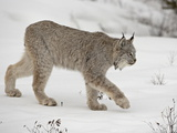 Canadian Lynx (Lynx Canadensis) in Snow in Captivity  Near Bozeman  Montana