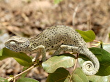 Chameleon With Rolled Tail on Shrub  Tanzania  East Africa  Africa